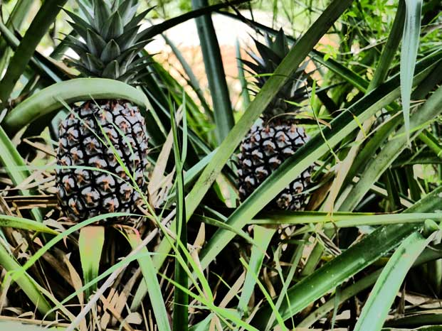 The farm is home to a large grove of pineapples.