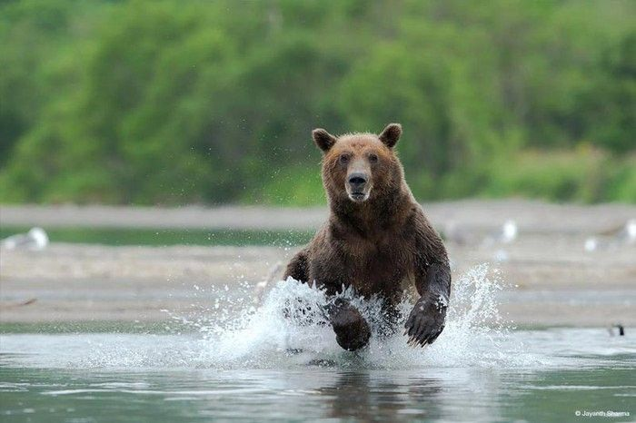 Photograph of a grizzly bear by Jayanth Sharma