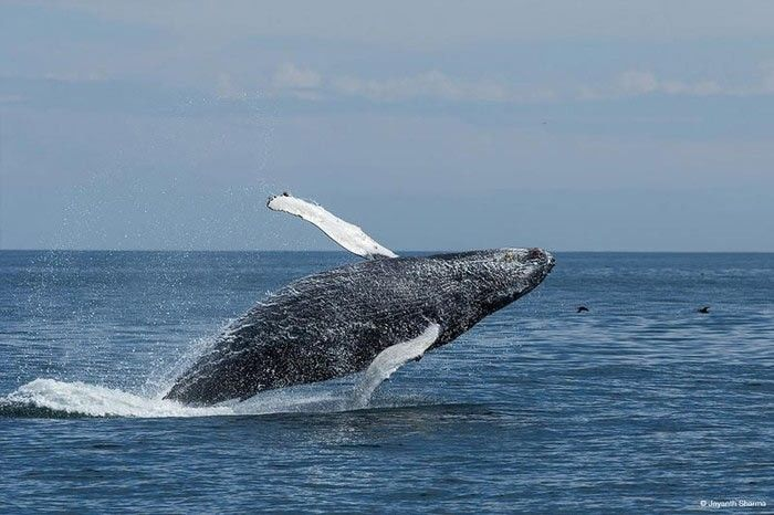 Photograph of a grey whale by Jayanth Sharma