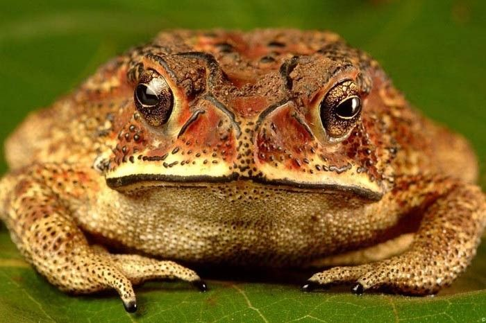 Photograph of an Eastern Spadefoot toad by Kalyan Verma