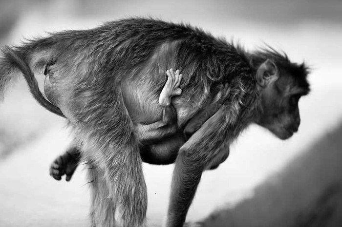 Photograph of a New World Monkey