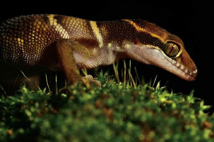 Photograph of a blue-tongued skink