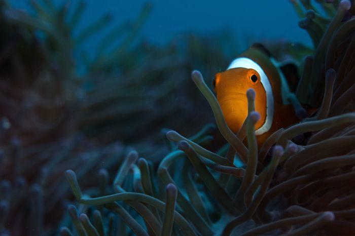 Finding Nemo: Clownfish in Chidiya Tapu
