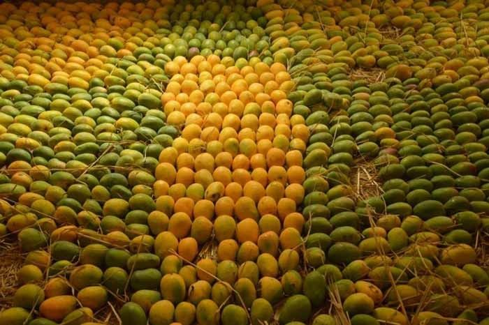 Mangoes in Season from Vrindavan Farm