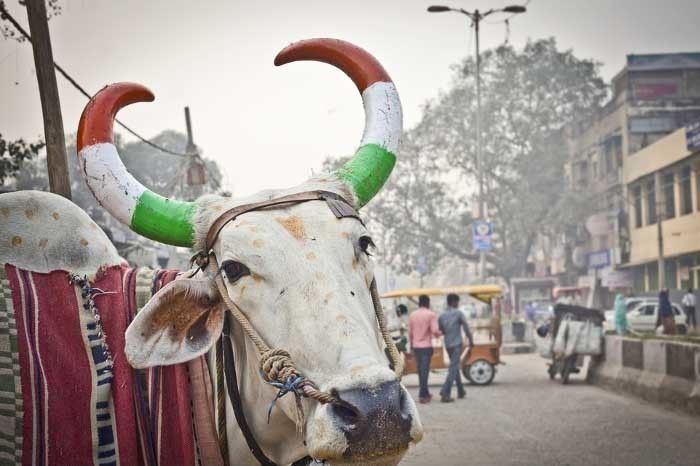 The holy cow. Image Source: india.com