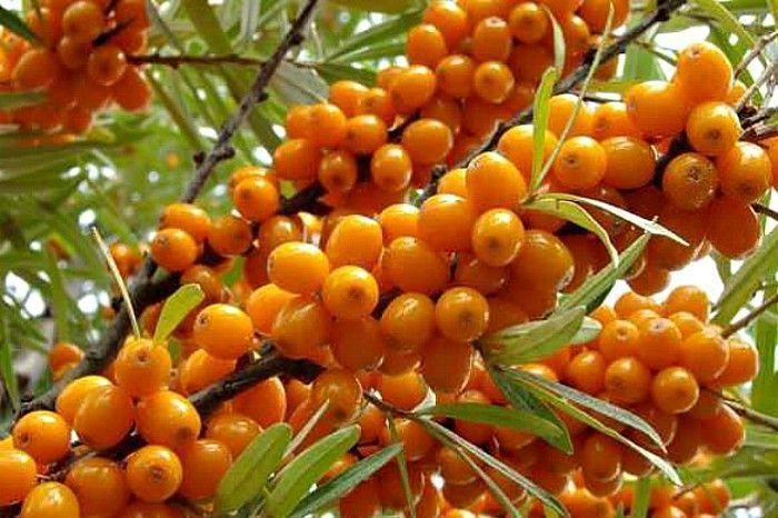 Seabuck Thorn. Image. Source: Magzter
