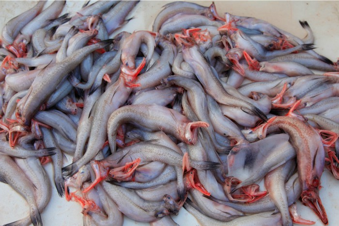 The slimy, lizard like Bombay Duck fish - fresh out of the sea. Photographed by Rashi Arora for Homegrown