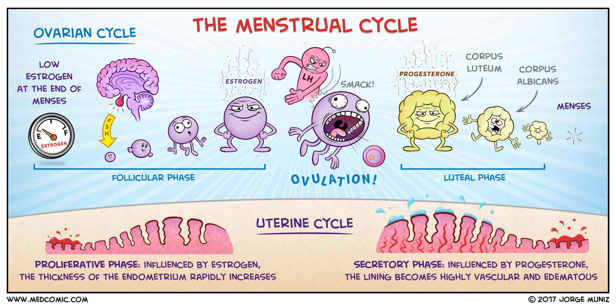 Graphic menstrual cycle